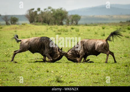 Two male blue wildebeest fight in grassland - Stock Photo