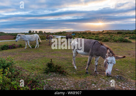 Donkeys wandering on a late summer evening at Deadman Hill, Godshill, New Forest, Hampshire, UK - Stock Photo