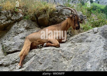 Mountain goat on a rock in the Cares Gorge, Asturias, Picos de Europa, northern Spain. - Stock Photo