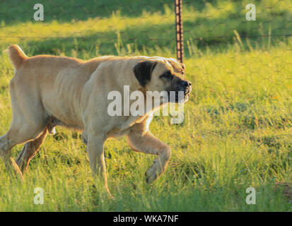 Boerboel, also known as the South African Mastiff, is a large, Molosser-type breed from South Africa - Stock Photo