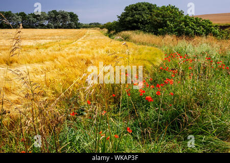 Poppies growing at the edge of a field of barley, Bridlington to Flamborough coastal path, Yorkshire, UK - Stock Photo