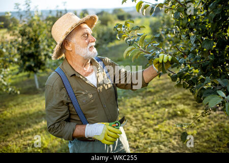 Senior well-dressed man as a gardener pruning branches of a fruit trees in the apple orchard. Concept of a fruit gardening on retirement age - Stock Photo