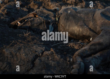 Dead spotted hyaena as a result of a snare - Stock Photo