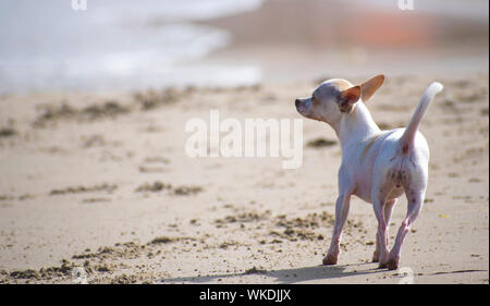 Chihuahua running at beach. One chihuahua at seashore unleashed. Pets in summer, Cute chihuahuas canine walking alone in a sandy beach in Spain, 2019. - Stock Photo