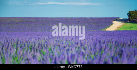 country road near Lavender field. The plateau of Valensole in Provence - Stock Photo