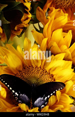 Clouded sulphur butterfly feeding from beautiful sunflowers. - Stock Photo