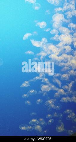Jellyfish Swimming Underwater Against Blue Background - Stock Photo