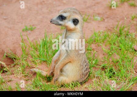 Meerkat Relaxing On Grassy Field - Stock Photo