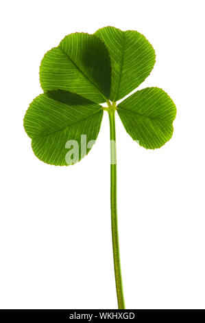 Four Leaf Clover isolated on the white background - Stock Photo