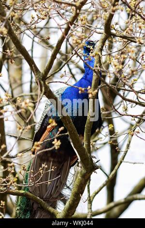 Peacock Sitting On Tree Branch - Stock Photo