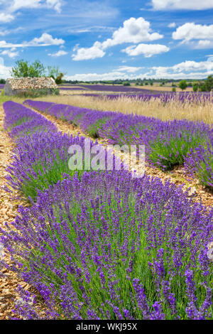 Lavender field in Provence with cloudy sky, France - Stock Photo
