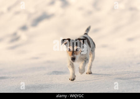 Small Jack Russell Terrier dog is walking   across a white meadow in snowy winter - Stock Photo