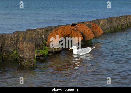 herring gull (Larus argentatus) beside groyne, Graal-Müritz, Mecklenburg-West Pomerania, Germany - Stock Photo