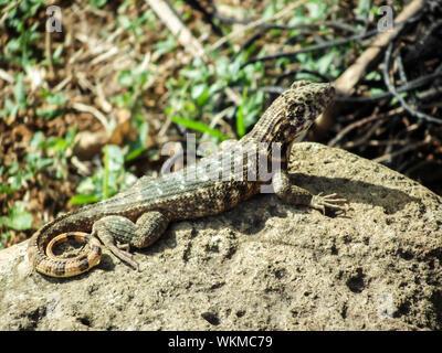 Close-up Of Lizard On Rock - Stock Photo