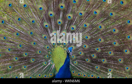 Close-up Portrait Of Peacock - Stock Photo