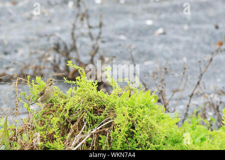 A Juvenile European Goldfinch, Carduelis carduelis, introduced - Stock Photo