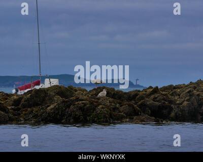 Mouettes sur un rocher îlot avec en second plan un voilier de plaisance et le phare de kermorvan et sa presque île en arriere plan ,plouguerneau - Stock Photo