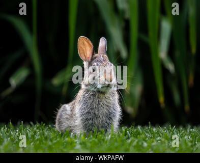 Eastern Cottontail Rabbit, (Sylvilagus floridanus) Manitoba, Canada. - Stock Photo