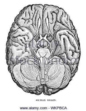Human brain, vintage illustration from 1884 - Stock Photo