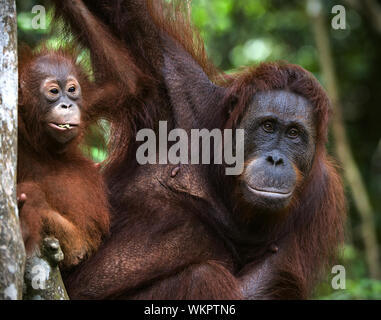 A female of the orangutan with a cub in a native habitat. Rain wood of Borneo. - Stock Photo