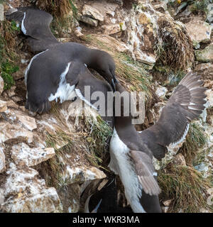 Pair of Guillemots Fighting on Cliff - Stock Photo