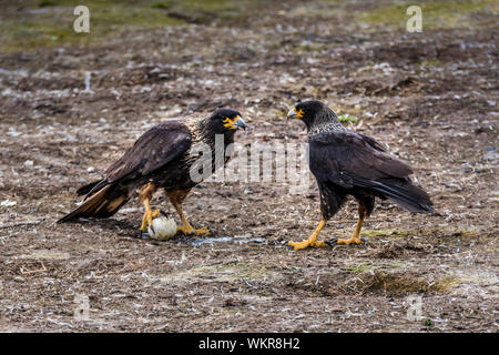 Two Striated Caracaras, or Johnny Rooks competing for a penguin egg, Sea Lion Island, in the Falkland Islands, South Atlantic Ocean - Stock Photo