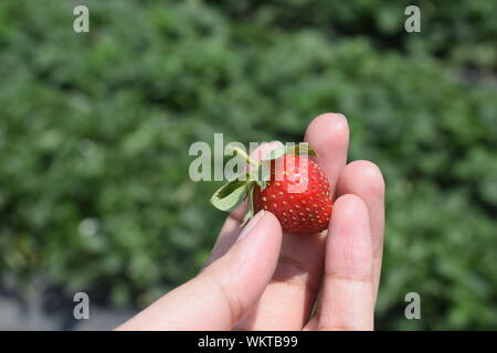 Cropped Hand Of Woman Holding Fresh Strawberry - Stock Photo