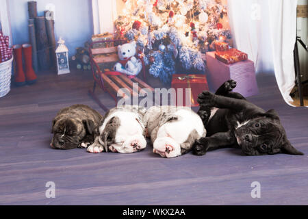 Close-up Of English Bulldog Puppies Lying On Christmas Backdrop - Stock Photo