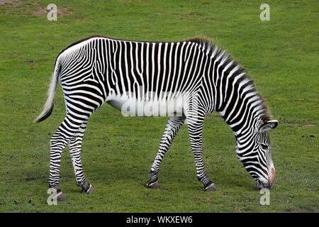 Grévy's zebra - imperial zebra - Equus grevyi grazing - Stock Photo