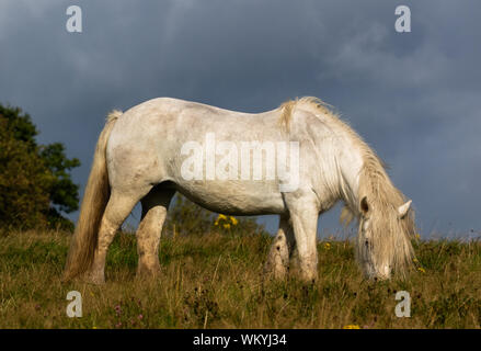 An old white mare grazing in front of dark skies. - Stock Photo