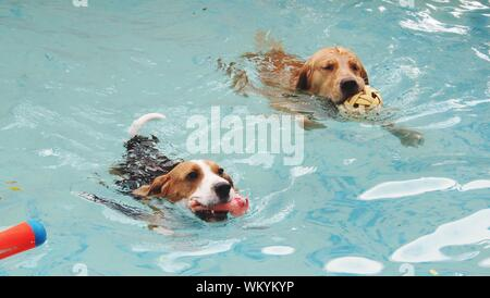 Jack Russell Terrier And Labrador Swimming In Pool - Stock Photo