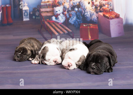 Close-up Of English Bulldog Puppies Sleeping On Christmas Backdrop - Stock Photo
