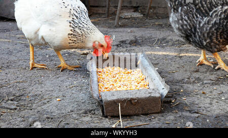 Free range chickens hens pecking and eating corn and food in a farmyard. Closeup shot of country rural scene. - Stock Photo