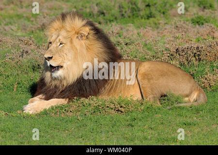 Kalahari lion, Panthera leo, in the Addo Elephant National Park - Stock Photo