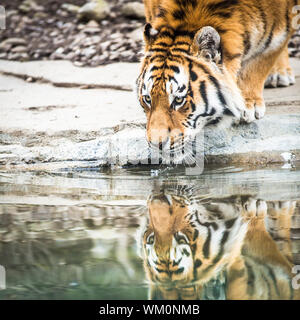 Indian Tiger Drinking Water - Stock Photo