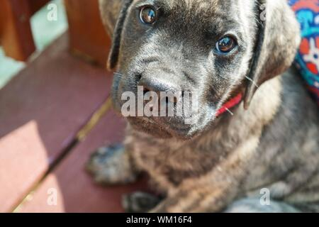 High Angle Portrait Of English Mastiff Puppy - Stock Photo