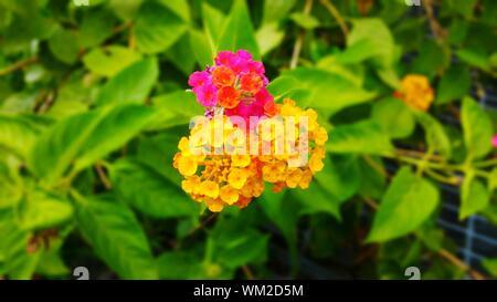 Close-up Of Lantana Camara Blooming Outdoors - Stock Photo