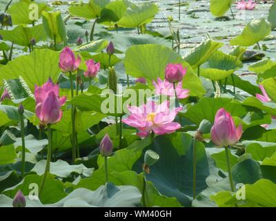 Lotus Water Lilies Growing In Pond - Stock Photo