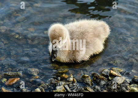 Black swan cygnets swimming within the pond looking for food - Stock Photo