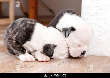 Close-up Of English Bulldog Puppies Sleeping On Hardwood Floor - Stock Photo