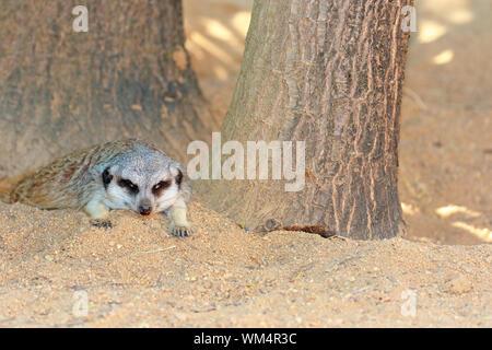 Meerkat Relaxing On Field - Stock Photo