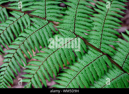 Tropical fern branch with rows of intricate natural leaf patterns, northern Andes, Colombia - Stock Photo