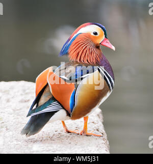 Colorful male duck, Mandarin Duck (Aix galericulata), standing on the rock, side and face profile - Stock Photo