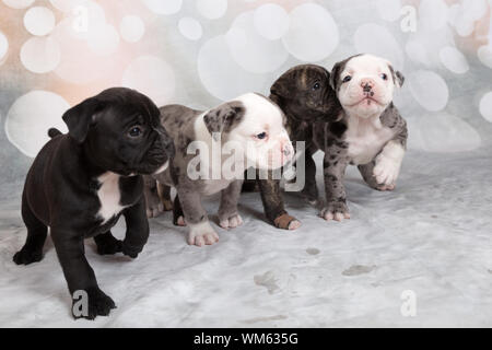 Close-up Of English Bulldog Puppies On White Floor - Stock Photo