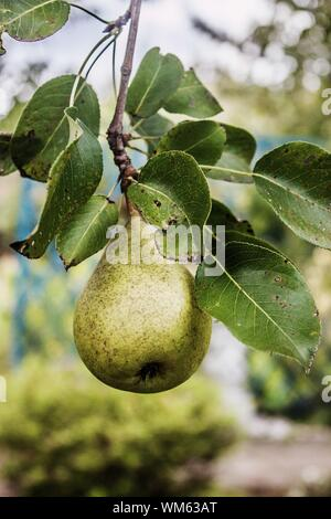 Close-up Of Pear Growing On Tree - Stock Photo