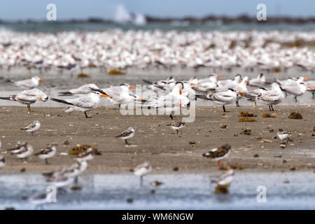 Flocks of royal terns (Thalasseus maximus) are getting rest on the shore of East End Beach, Galveston, Texas - Stock Photo