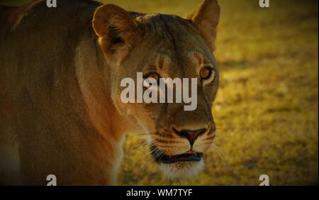 Close-up Of Lioness On Field - Stock Photo