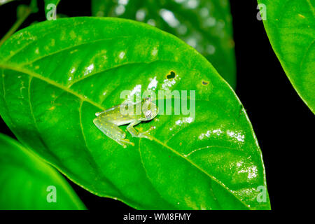 Spotted Glass Frog - Yellow Flecked Glassfrog in Costa Rica - Stock Photo