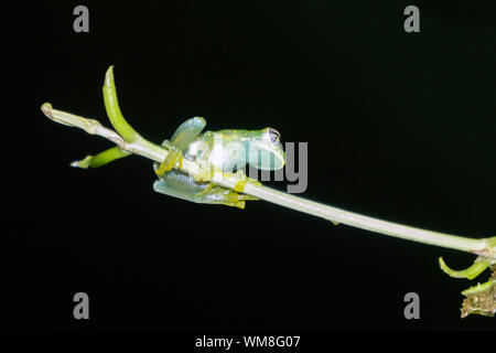 Glass Frog - Underbelly is partially transparent - Stock Photo