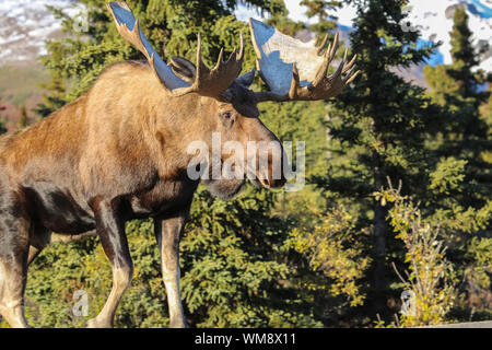 Close up of a male Moose with huge antlers in the late afternoon light in Denali National Park, Alaska - Stock Photo